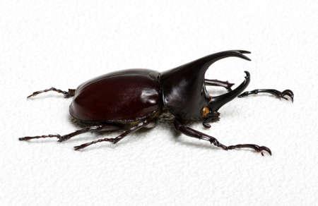 escarabajo: Rhinoceros beetle, Rhino beetle, Hercules beetle, Unicorn beetle, Horn beetle. Foto de archivo