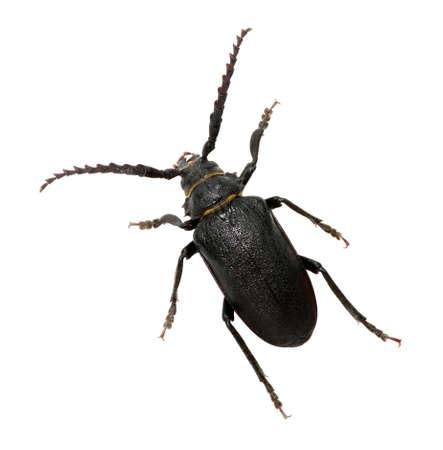 ground beetle: black beetle isolated on white Stock Photo