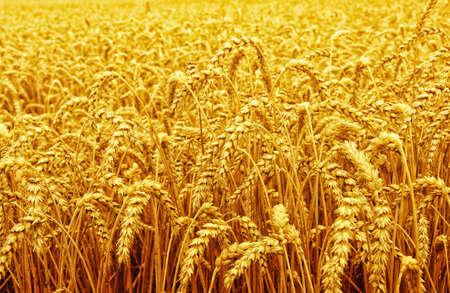 小麦と太陽のフィールド 写真素材