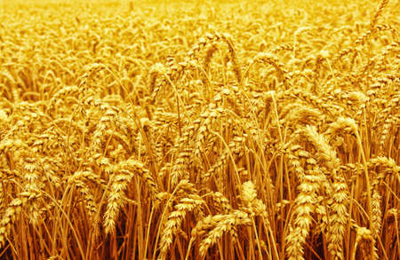 Field of wheat and sun Stok Fotoğraf