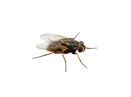 malady: A macro shot of fly on a white background