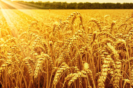 farm land: Field of wheat and sun Stock Photo