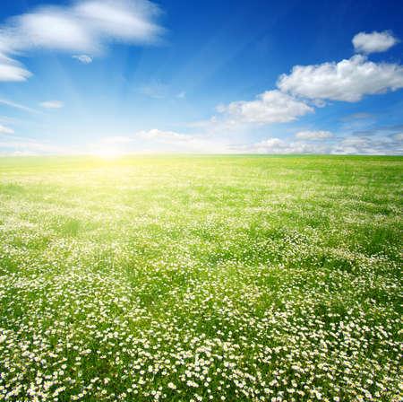 Gebied van madeliefjes, blauwe lucht en zon. Stockfoto