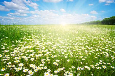 blue daisy: Field of daisies, blue sky and sun.