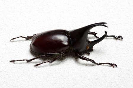 horn beetle: Rhinoceros beetle, Rhino beetle, Hercules beetle, Unicorn beetle, Horn beetle. Stock Photo