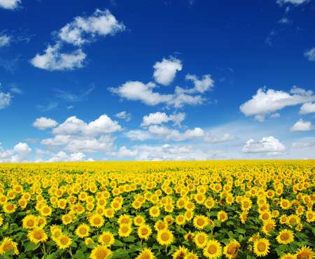 girasol: girasoles campo en fondo del cielo Foto de archivo