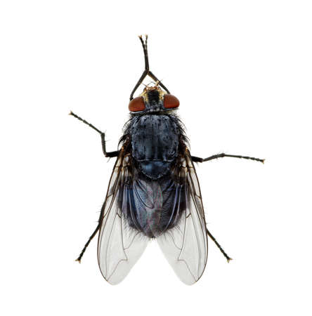 irritate: A macro shot of fly on a white background . Live house fly .Insect close-up Stock Photo