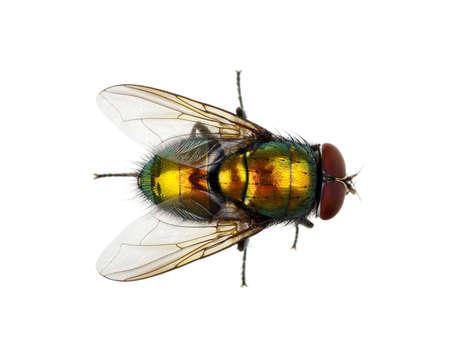 volar: mosca verde aislado en blanco