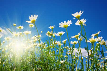 daisy: Field of daisies,blue sky and sun.