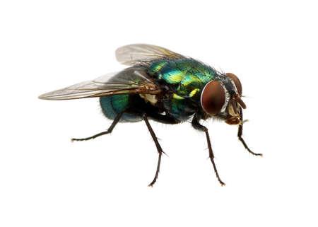 groene vliegen op wit wordt geïsoleerd Stockfoto