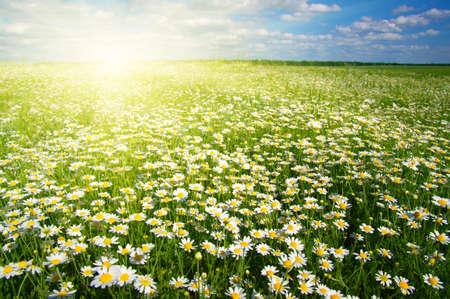 pâquerette: Champ de marguerites, ciel bleu et soleil.