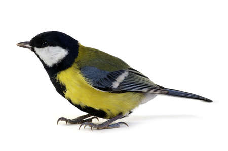 major: great tit, Parus major, isolated on white