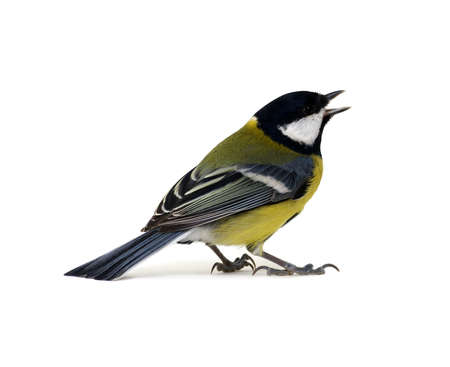 parus: great tit, Parus major, isolated on white