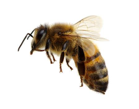 Bee geïsoleerd op het witte Stockfoto