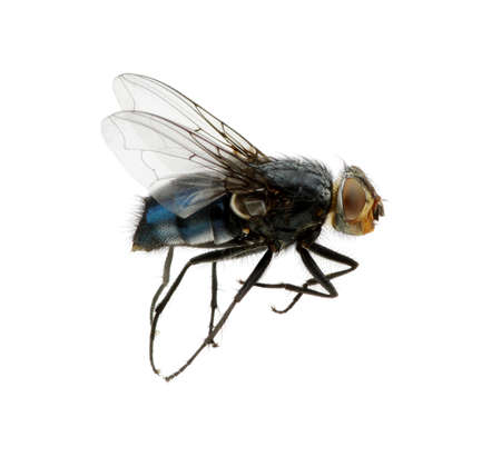 A macro shot of fly on a white background . Live house fly .Insect close-up Foto de archivo