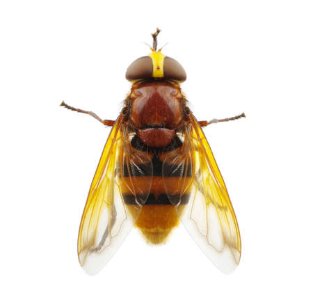horsefly: Horsefly isolated on white