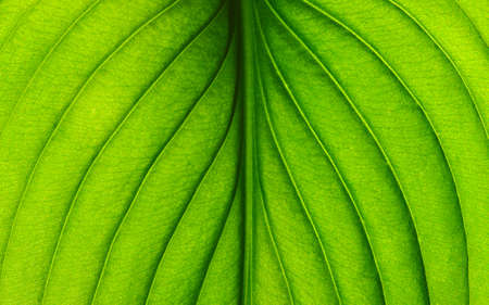 textured background: close up of green leaf texture
