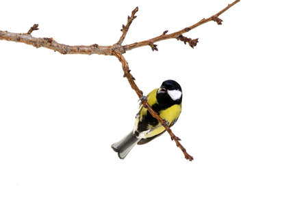 birds on branch: great tit on a branch isolated on white
