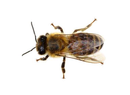miel de abeja: Abeja aislado en el blanco