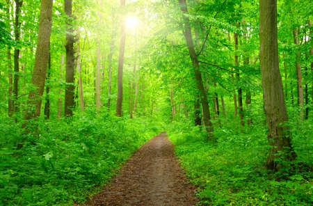 Sun beam in a green forest