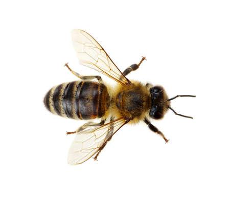 abejas: Abeja aislado en el blanco