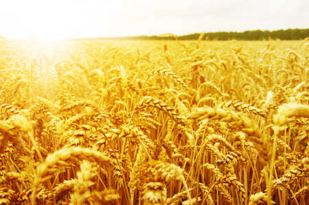 yellow agriculture: Field of wheat and sun Stock Photo
