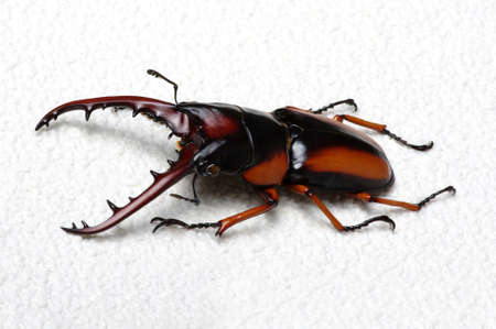 stag: Stag beetle isolated on background