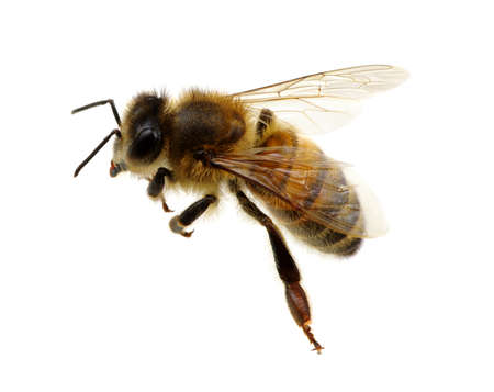 Bee geïsoleerd op het witte