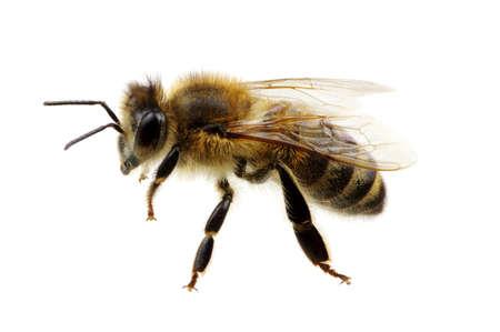 꿀벌 흰색에 고립