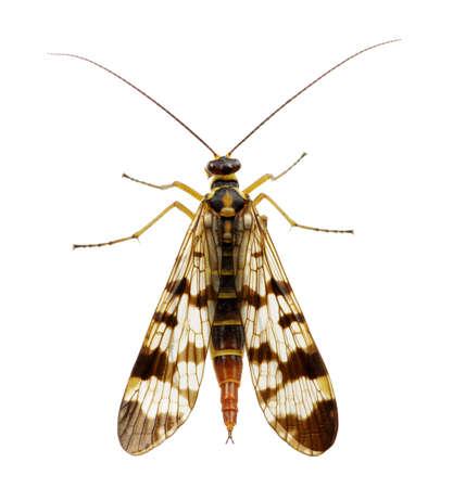 gnat: Mosquito isolated on white background Stock Photo
