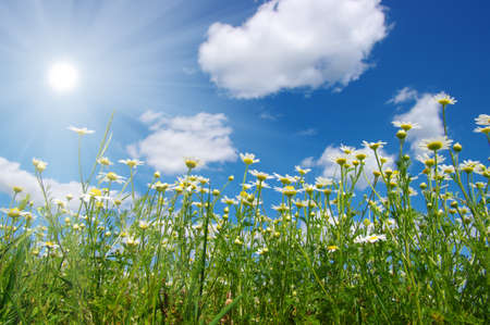lawn grass: Field of daisies,blue sky and sun.