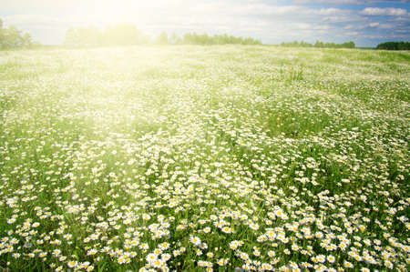 herb garden: Field of daisies,blue sky and sun.