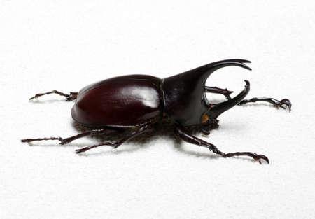 beetle: Rhinoceros beetle, Rhino beetle, Hercules beetle, Unicorn beetle, Horn beetle. Stock Photo