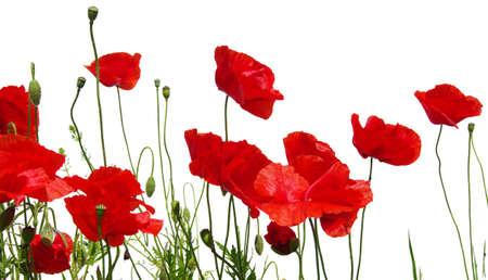 rote Mohnblumen isoliert auf weiß