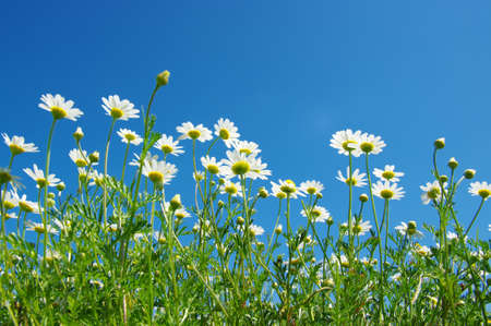 camomiles: White camomiles on blue sky background Stock Photo