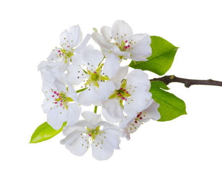 white blossom: Branch with blossoms isolated on white