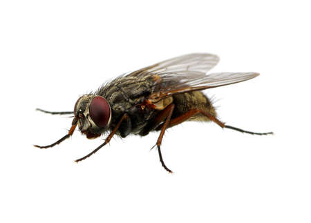 malady: A macro shot of fly on a white background. Live house fly. Insect close-up Stock Photo
