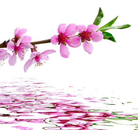 white blossom: Branch with pink blossoms isolated on white background