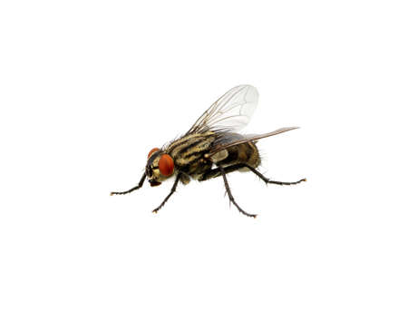 irritate: A macro shot of fly on a white background. Live house fly. Insect close-up Stock Photo
