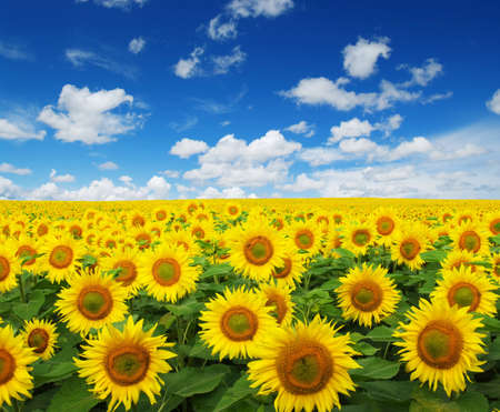bright sky: sunflowers field on sky background