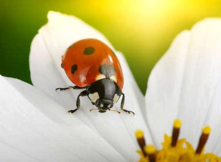 Sun flower: Marienkäfer und Blume auf Sonne Lizenzfreie Bilder