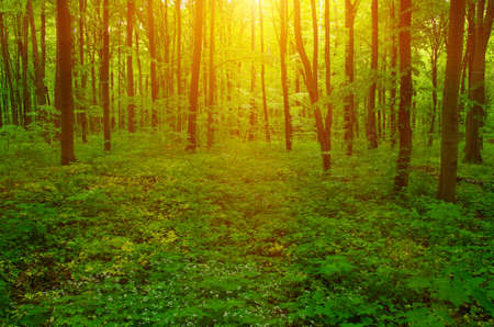 sunlit: Forest with sunlight. The sun rays through branches of trees