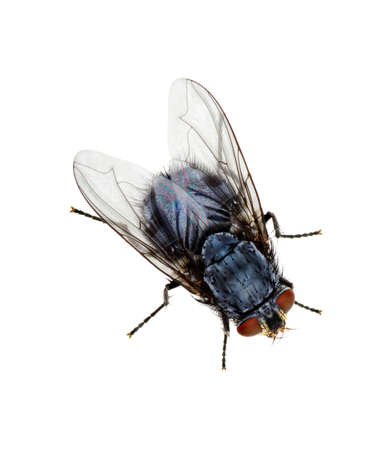 irritate: A macro shot of fly on a white background