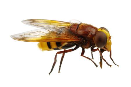 tabanidae: Horsefly isolated on white