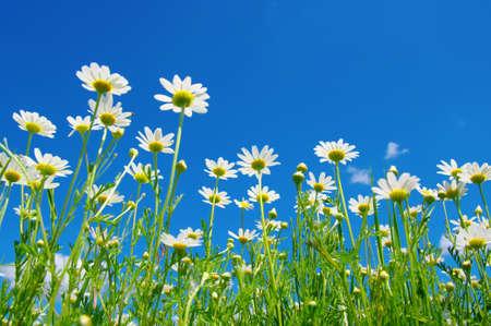 white daisies: white daisies on blue sky background Stock Photo