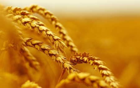farming plant: ripening ears of wheat.