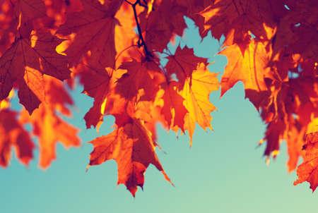 toned: Autumn leaves on sky. Toned efect
