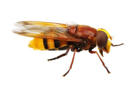horsefly: Horsefly isolated on white