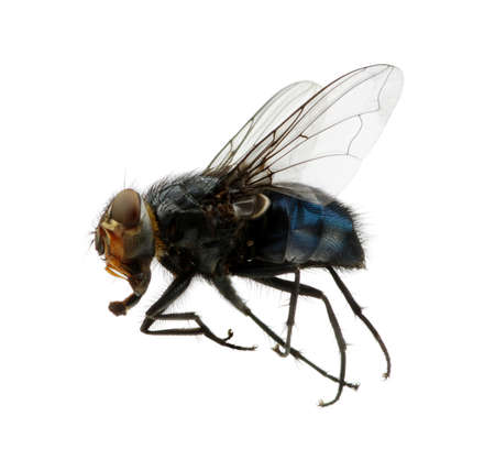 A macro shot of fly on a white background . Live house fly .Insect close-up Stock Photo