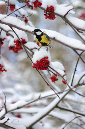 Tit sitting on a branch of rowan in the snow. Winter background Stock Photo